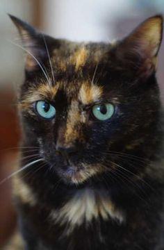 Twisted Sisters: Amazing Tortoiseshell Cats & Kittens | WebEcoist