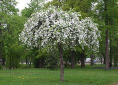 rautatienomenapuu on omppu, jolla on upean koristeellinen riippapuun muoto. Kuuluisin yksilö seisoo Hesan rautatieasemalla.