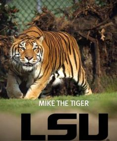 Mike the tiger