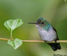 Blue-chested Hummingbird female (Amazilia amabilis)