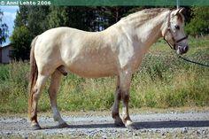 Estonian Native / Klepper - gelding Reilender