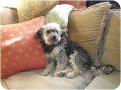 yorkie adoption san diego poodle terrier mix looks just like jep adopt a 9729