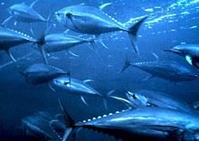 Facts and Information about Yellowfin Tuna. Yellowfin Tuna Description, Behavior, Feeding, Reproduction, Yellowfin Tuna threats and Yellowfin Tuna, Fishing Life, Ice Fishing, Ex Machina, Deep Sea Fishing, Saltwater Fishing, Stem Activities, Ocean Life, Sea Creatures