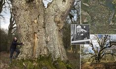 New research revealed that there are 60 ancient oaks in Blenheim Palace grounds (pictured), Oxfordshire, some of them up to nine metres in diameter and nearly 1,000 years old.