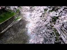 桜の名所岩倉五条川_2015iwakura_sakura