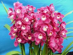 Monkey Orchid For Sale | Cymbidium Orchids For Sale Sydney | Beautiful Orchids Care