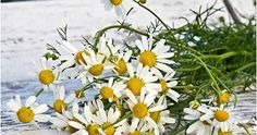 how to grow chamomile outdoors