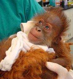 Sumatran Orangutan, Menar,i born at Audubon Zoo in New Orleans on June 10, 2009