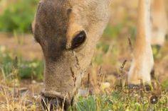 Print of a Wild Deer Grazing
