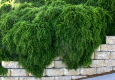 /Acacia cognata Mini Cog beautiful weeping dwarf acacia, great over a wall, drought tolerant Vertical Garden Plants, Rock Garden Plants, Backyard Plants, Balcony Plants, Sun Plants, Garden Shrubs, Landscaping Plants, Landscaping Ideas, Moss Garden