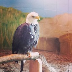 One of the ambassadors at the National Eagle Center @NatlEagleCenter @exploreminn  #Tbex #OnlyinMN #Minnesota #MWTblogs #DiscoverMidwest #MidwestMoment #Midwest #MWTblogger #MidwesrTravel #TbexMN #captureminnesota #travel #MidwestWanderer #travelblogger #travelgram #igersmidwest #instatravel #natgeo #explore #CaptureMN #NationalEagleCenter #WabashaMN #eagle by mw_wanderer