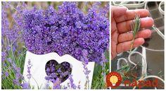 Levanduľa je nielen krásna, ale aj veľmi užitočná rastlina. Prinášame vám tipy, vďaka ktorým sa jej bude dariť aj vo vašej záhrade.