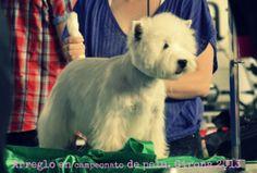 Arreglo de exposición a stripping de west highland terrier. Por Raquel Alcalde