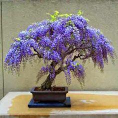 Resultado de imagem para wisteria tree bonsai