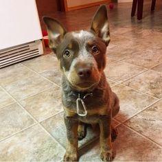 Chocolate Heeler, Chocolate Australian Cattle Dog , Rogue the Chocolate Heeler