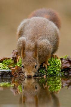 Red Squirrel (Eekhoorn) by Denis Bitter, via Flickr