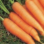 are the sweetest carrot you will find! The long, thin, uniform roots are extra high in beta-carotene giving it a deeper orange colour. Stores well in the ground, with good resistance to bolting, giving fresh carrots over a much longer period.