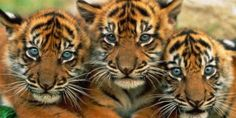 Avaaz - Ditch Coal -- Save the Last Tigers!