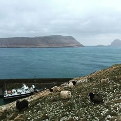 Sheep in the Faroes oh boy what an unexpected surprise.  #sheep #ferry #boat #island #faroeislands #føroyar #atlantic #harbor #cliff #beautiful #nature #farm #winter #cold #frigid #hike #walk #travel #tourism #adventure #vacation #atlanticairways #europe by subduction