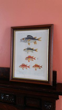 Vintage framed print * fish framed print * natural history print * Gosta Sundman fish print * Antique picture * fishes of Finland *fisherman by GingerCatUpholstery on Etsy