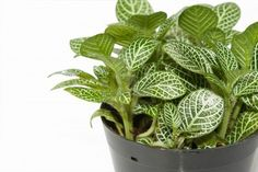 Nerve Plant also known as Fittonia, Fitonia or Mosaic plant, over white background  Scientific name  Fittonia verschaffeltii, var  argyroneura Stock Photo
