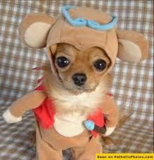 You thought Chloe from Beverly Hills Chihuahua could nag? This little chihuahua is fromChina and is by far th. Cute Chihuahua, Cute Puppies, Cute Dogs, Funny Dogs, Teacup Chihuahua, Teacup Puppies, Yorkie, Baby Animals, Funny Animals