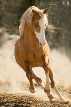 What an Amazing Wild Palomino Mustang!