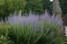 Buy Russian sage Perovskia 'Blue Spire' - Violet-blue flowers and silvery foliage. Great planted en masse: Delivery by Crocus Flowers Perennials, Planting Flowers, Sage Plant, Russian Sage, Buy Plants Online, Planting Plan, Border Plants, Coastal Gardens, Gardens