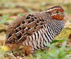 Manipur Bush Quail Perdicula manipurensis - Google Search
