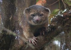 """Olinguito, a new carnivore species: Described as a cross between a teddy bear and a house cat, this small, wide eyed beast with luxuriant orange fur lives in the cloud forests of Ecuador. (""""Olinguito"""" rhymes with mojito! Beautiful Creatures, Animals Beautiful, Cute Animals, Small Animals, Nature Animals, Raccoon Family, Especie Animal, Funny Animal, Carnivore"""