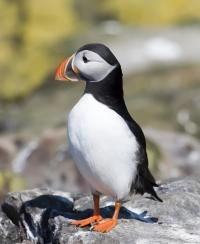 Puffin - can be seen on islands around Britain.  They don't like to be disturbed.  Mainly seen by boat.  Puffin Island, in North Wales is particularly well-known for its many Puffin families.