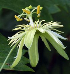 The petite wild yellow passion flower