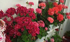 Cel mai bun îngrășământ care va asigura o înflorire bogată a mușcatei - Floral Wreath, Wreaths, Nature, Decor, Plant, Lawn And Garden, Floral Crown, Naturaleza, Decoration