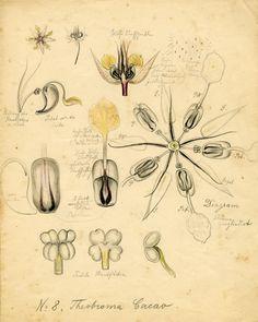 Blaschka flower drawings.