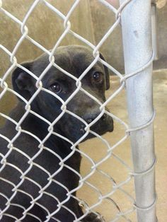 PUPPY TO BE DESTROYED FRI 2/21!!! Scheduled for euthanasia FRIDAY! He is just a baby. Only 6 months old. Staffordshire Terrier mix.  He is URGENT!!! Please someone adopt!!  Kennel A1**$51 to adopt  Located at Odessa, Texas Animal Control.  https://www.facebook.com/speakingupforthosewhocant/photos/a.573572332667009.1073741829.248355401855372/731972590160315/?type=1&theater
