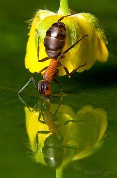 Formiga bebendo água se utilizando de uma flor.