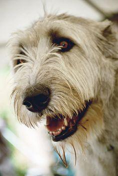 Wolfhound. :)   Flickr - Photo Sharing!
