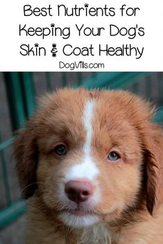 Guide to Proper Nutrition for Maintaining Healthy Skin and Coat - DogVills Proper Nutrition, Healthy Nutrition, Healthy Fats, Healthy Skin, Dog Barking, New Skin, Good Fats, Dog Food Recipes