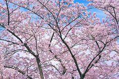 綺麗な春の桜と青い空の背景