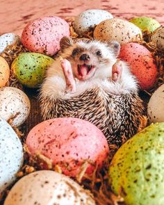 Dec 2019 - About little hedgehog and his life✨. See more ideas about Cute hedgehog, Hedgehog and Cute animals. Cute Wild Animals, Baby Animals Super Cute, Baby Animals Pictures, Cute Animal Photos, Cute Little Animals, Cute Funny Animals, Animals And Pets, Smiling Animals, Hedgehog Pet