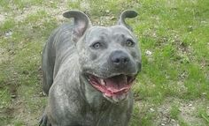 smiling pitbull feature