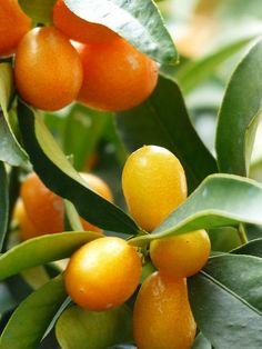 Come coltivare Kumquat mandarino cinese fortunella esposizione concimazioni…