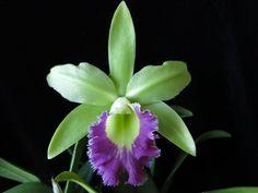 Rhyncholaeliocattleya Lester McDonald 'Exotic Orchids' FCC/AOS. (Cattleya Ann Follis x Rhyncholaelia digbyana) Photo © Peter T. Lin