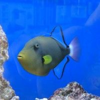 General The Pinktail Triggerfish Has A Handsome Emerald Green Body And A Bright Pink Tail Yellow Accents The Body At The Face And Beautiful Fish Fish Fish Pet