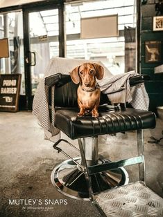 Dachshund puppy hogging the barber #cute #animals #dogs Dachshund Facts, Dachshund Funny, Dachshund Breed, Long Haired Dachshund, Daschund, Best Apartment Dogs, Clever Dog, Miniature Dachshunds, Most Popular Dog Breeds