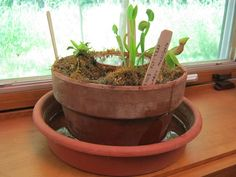 Nothing livens up a classroom windowsill like some predator / prey action. Carnivorous plants are the mightiest of houseplants, but many can only thrive in a soggy, acidic, bog environment. To keep your carnivorous plants happy year-round, make them a simulated bog environment! You can follow the steps in this Instructable to make a copy of the bog garden shown, or adapt the same techniques to whip up your own to suit your own containers and windowsill. Let's get started! C...