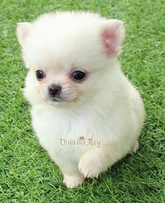 White Chihuahua Puppy - Long Haired Cachorro chihuahua blanco - Pelo Largo Long Haired Chihuahua Puppies, Teacup Chihuahua Puppies, White Chihuahua, Yorkie Puppy, Chihuahua Love, Cute Baby Dogs, Cute Dogs And Puppies, Cute Babies, Dog Haircuts