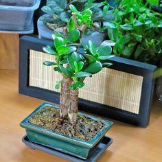 Plant-in: Crassula Ovata: From Mini Bonsai semi-Hydro Mini Bonsai, Indoor Bonsai, Best Indoor Plants, Jade Bonsai, Succulent Bonsai, Bonsai Plants, Cacti And Succulents, Crassula Ovata, Terraria Tips