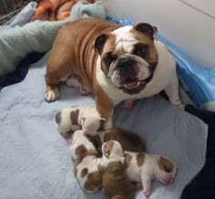 Mom and the new pups ~ OMG how precious are they ?!?