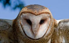 Barred Owl [not~barn owl]